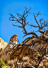 The line between life and death (docoverachiever) Tags: wood rock utah scenery desert hike nature digitalart naturalbridge deadtree capitolreefnationalpark tree landscape cliffs canyon