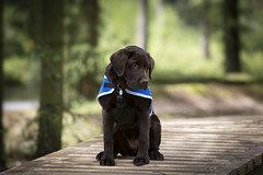 Tia (JulieMorrish) Tags: assistancedog canon5dmkiii canon70200 dogphotographer dogportrait eyes labrador chocolatelabrador labradorpuppy puppy portrait photographer woodland photoshoot