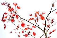 Spring Lightness (NathalieSt) Tags: europe france jardin bokeh fleur flower flowers garden hautsdefrance hybrid nikon nikonz6 nikonpassion nikonphotography noyon oise picardie printemps spring z6