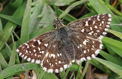 Grizzled Skipper -Pyrgus malvae _ Cerne Abbas Dorset-160519 (1) (Ann Collier Wildlife & General Photographer) Tags: cerneabbas dorset grizzledskipper pyrgusmalvae butterflies butterfliesmothsandcaterpillars insects britishwildlife britishinsects macro lepidoptera