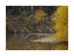Billabong (jen 3163) Tags: billabong pond dam autumn fall trees yellow golden