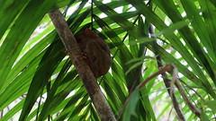 Philippine Tarsier Sanctuary (milkthebasic) Tags: philippine tarsier sanctuary