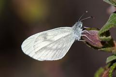 Blanca esbelta (ajmtster) Tags: macrofotografía macro insecto invertebrados mariposa mariposas lepidopteros pieridae pieridos leptideasinapis laptidea sinapis blancaesbelta butterfly butterflies amt