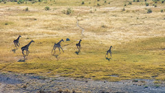 Giraffe on the run (Jennie Stock) Tags: giraffacamelopardalis helicoptertrip maun giraffe landscape okavango aerial
