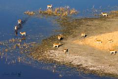 Red Lechwe (Jennie Stock) Tags: helicoptertrip maun kobuslecheleche landscape redlechwe okavango aerial