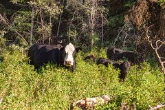 Roaming Free (MIKOFOX ⌘) Tags: canada cattle britishcolumbia xt2 forest learnfromexif july landscape provia fujifilmxt2 summer showyourexif mikofox xf18135mmf3556rlmoiswr