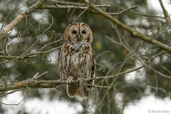 Tawny Owl (Mrs.Geordiepix) Tags: tawnyowl owl bird perch birdofprey dusk