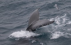 Humpback Whale tail up with accompanying Antarctic Prion (pachyptila desolata) (Paul Cottis) Tags: humpback whale cetacean marine mammal swim swimming feed southgeorgia southernocean paulcottis 28 january 2019 jan seabird prion petrel paloma antartico