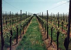 Auf die Spitze getrieben ... (alf sigaro) Tags: agat18k agat 18k belomoagat18k belomo halbformat 18x24 badenwürttemberg weinbergsymmetrie weinberg weinberge vineyard vineyards hütte hütten