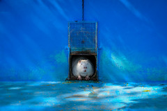 blue monday (Werner Schnell Images (2.stream)) Tags: ws monday blue blues nutria biberratte sumpfbiber