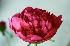 Peony rose (gamze avci) Tags: d3300 nikon blossom blooming dutch flowerphotography nature netherlands spring leaves macro redflower rose peonies peony
