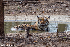 Royal Bengal Tiger (asheshr) Tags: 200500mm maharashtra baras d7200 jungle junglesofindia khursapar mahar nikon rbt royalbengaltiger tiger wildanimal wildlife