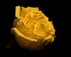 Yellow Rose 0822 (Tjerger) Tags: nature flower bloom blooming plant natural flora floral blackbackground portrait beautiful beauty black wisconsin macro closeup yellow single summer rose