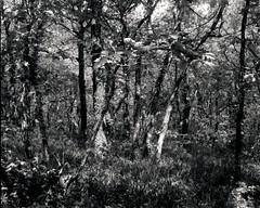 Trees1 (Camera Moose) Tags: dartmoor woods cambo large format 5x4 fomapan film