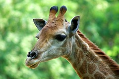 Giraffe Portrait (hasham2) Tags: safari giraffe headshot bokelicious fur face sony a77m2 minoltaaf100300mm
