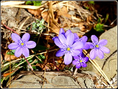#abruzzo #fiore #flower #epaticanobilis #parconazionalegransassomontidellalaga (Fred_2019) Tags: parconazionalegransassomontidellalaga fiore abruzzo flower epaticanobilis