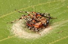 Lynx Spider, male (Hamadruas sp., Oxyopidae) (John Horstman (itchydogimages, SINOBUG)) Tags: macro china yunnan itchydogimages sinobug spider arachnid lynx oxyopidae canon tumblr