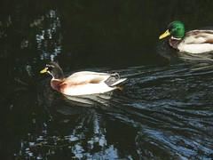 Mallards, Monmouthshire-Brecon Canal, Five Locks, Pontnewydd, Cwmbran 20 May 2019 (Cold War Warrior) Tags: anasplatyrhynchos mallard duck hybrid canal pontnewydd cwmbran