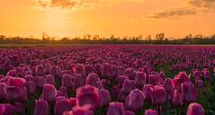 Trillions of Tulips. (Alex-de-Haas) Tags: 1635mm d500 dutch europa europe holland nederland nederlands netherlands nikkor nikkor1635mm nikon nikond500 noordholland agriculture akkerbouw beautiful beauty bloemen bloemenvelden boerenland bollenvelden bulbfields farmland farming flowerfields flowers landbouw landscape landscapephotography landschaft landschap landschapsfotografie lente lucht mooi polder pracht schoonheid skies sky spring sundown sunset tulip tulips tulp tulpen zonsondergang sintmaartensvlotbrug northholland