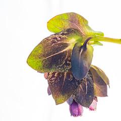35/100 Purple (JulieMeakins) Tags: 100xthe2019edition 100x2019 image35100