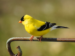 American Goldfinch (RonG58) Tags: americangoldfinch wayne spinustristis bird birds loiseau elpájaro tori dervogel birding birdwalk fauna flora habitat migration natureexploration wildlife breedingplumage passerines waynemaine maine rong58 new usa images spring pictures photooftheday day image color photography photo photos us light trip nikon picture digitalcamera picoftheday photograph live geotagged nature naturephotography travel exploration