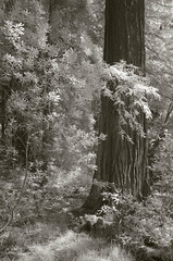 Guardian (baro-nite) Tags: sequoia sempervirens forest trees infrared pentax k5 tiltshift rokinon13524mmedasumctiltshift iridientdeveloper