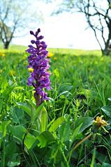"""Wilde Schönheit (Uli He - Fotofee) Tags: ulrike """"ulrike he"""" uli """"uli hergert"""" hergert nikon """"nikon d90"""" fotofee fotografie hobbie wanderung rhön """"hessische rhön"""" wasserkuppe pferdskopf eube guckaisee himmlisch wandern wolken himmelblau orchideen """"wilde orchideen"""" berge vulkan vulkane"""