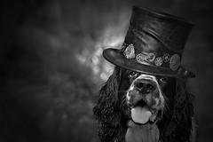 Sugar dog (Zz manipulation) Tags: ambrosioni art zzmanipulation dog cappello zucchero people portrair animal