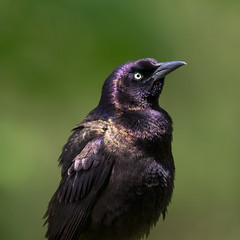 jumping out of the shadows (captured views) Tags: commongrackle grackle nature connecticutbird bird capturedviews capturingthelivinglandscape iridescence iridescentfeathers spring green purpleandgold