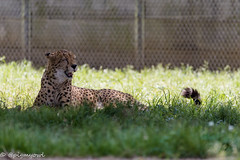 20190519-0011 (M.Pigmyowl) Tags: cheetah チーター 多摩動物公園