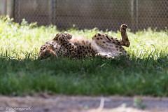 20190519-0009 (M.Pigmyowl) Tags: cheetah チーター 多摩動物公園