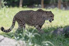 20190519-0006 (M.Pigmyowl) Tags: cheetah チーター 多摩動物公園