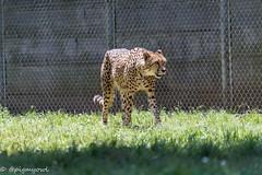 20190519-0005 (M.Pigmyowl) Tags: cheetah チーター 多摩動物公園