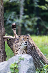 20190519-0004 (M.Pigmyowl) Tags: cheetah チーター 多摩動物公園