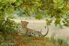Mr. Majestic (hvhe1) Tags: africa southafrica malamala gamereserve gamedrive safari animal wild hvhe1 hennievanheerden pantheraparduspardus luipaard leopard airstripmale cat big predator