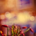 Les tulipes sauvages de l'Ardèche. thumbnail