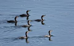Cormoran à aigrettes / Double-crested Cormorant (rcomard3) Tags: oiseau bird cormoran aigrettes cormorant doublecrested