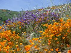 Walker Canyon superbloom (h willome) Tags: 2019 california lakeelsinore wildflowers superbloom walkercanyon