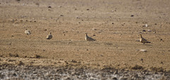 Chestnut-bellied sandgrouse (praveen.ap) Tags: chestnutbelliedsandgrouse sandgrouse desertnationalpark
