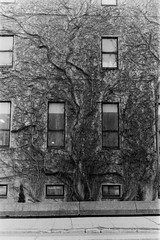 Prendre racine V (Sarah-Kim Bisson) Tags: arbre tree montréal montreal bw film
