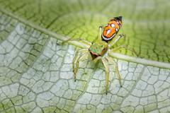 IMG_5113-tr (JLBenazra) Tags: bali201905 bali araignées spider