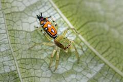 IMG_5111-tr (JLBenazra) Tags: bali201905 bali araignées spider