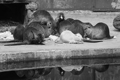 Nutria (PeteMartin) Tags: artis bw feeding infrared nutria zoo amsterdam netherlands