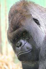 bokito (mike rodenburg) Tags: bokito blijdorp gorilla mike rodenburg
