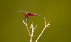 Red Dragon-fly (Ricard Sánchez Gadea) Tags: dragonfly libelula libèl·lula insecto rojo rama tele 150600 sigma150600mmf563dgoshsmcontemporary sigma150600 7d 7dcanon eos7d canon7d canoneos7d lleida airshow festaalcel