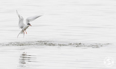 Forsters Tern - Sterna forsteri (Lauren Tucker Photography) Tags: america bird forsterstern jamaicabay nature newyork newyorkcity ny nyc usa wildlife canon slr camera markii 7d 100400mm copyright ©laurentuckerphotography photography photographer photograph photo image pic picture allrightsreserved 2019 winter spring colour wild mammal migration us city manhattan centralpark brooklyn queens sterna forsteri