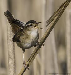 Marsh Wren (PrettyCranium) Tags: bird birds animal animals nature wildlife canada marsh wren