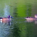 Blue-winged Teal thumbnail