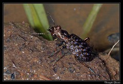 Elaphrus cupreus (cquintin) Tags: arthropoda coleoptera carabidae elaphrus cupreus macroinsectes