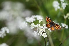 Carte géographique (Philippe Schillings) Tags: papillons feluy printemps spring butterflies